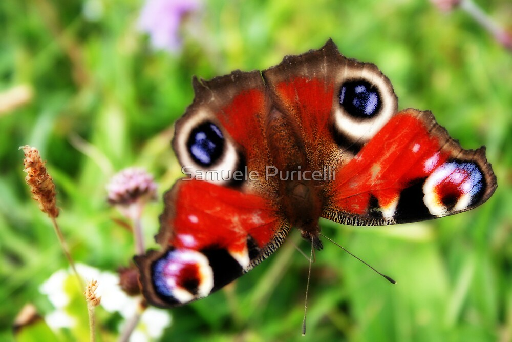 Papillon by Samuele Puricelli