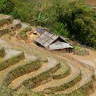 Vietnamese Padi Field by emmettm