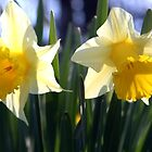 Two daffodils by Dennis Melling