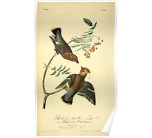 James Audubon Vector Rebuild - The Birds of America - From Drawings Made in the United States and Their Territories V 1-7 1840 - Black Throated Waxwing or Bohemian Chatterer Poster