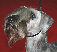 Well-trained Cesky Terrier by welovethedogs