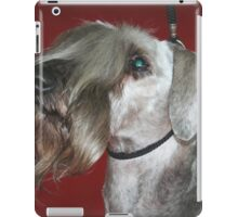 Well-trained Cesky Terrier