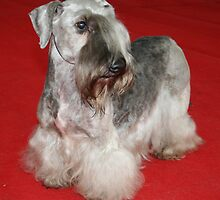 Awesome Cesky Terrier
