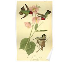 James Audubon Vector Rebuild - The Birds of America - From Drawings Made in the United States and Their Territories V 1-7 1840 - Anna Hummingbird Poster