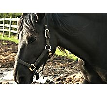 Closeup Of a Black Horse Photographic Print