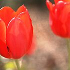 Tulips by wise