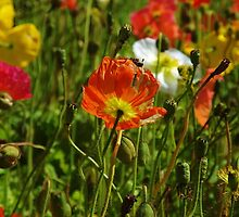 Californian Poppies by lezvee