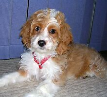 Adorbz Spoodle by welovethedogs
