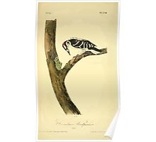 James Audubon Vector Rebuild - The Birds of America - From Drawings Made in the United States and Their Territories V 1-7 1840 - Canadian Woodpecker Poster