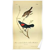 James Audubon Vector Rebuild - The Birds of America - From Drawings Made in the United States and Their Territories V 1-7 1840 - Red and Black Shouldered Marsh Blackbird Poster