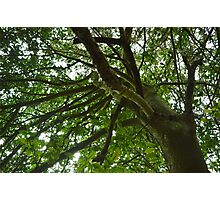 Up And Under - Tree Canopy Photographic Print