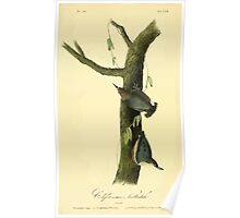 James Audubon Vector Rebuild - The Birds of America - From Drawings Made in the United States and Their Territories V 1-7 1840 - Californian Nuthatch Poster