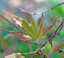 Japanese Maple leaf in spring  by Paul Kavsak