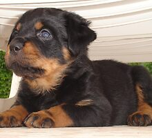 The Rottweiler Sphinx by taiche