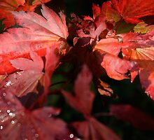Maple Leaves by WinfrithGraphic