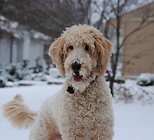 Well-trained Goldendoodle by welovethedogs