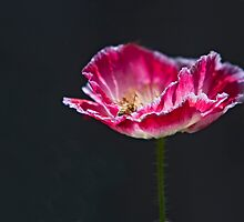 Red Coquelicot with a Bee Collecting Pollen by Buckwhite