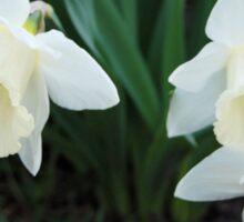 Three White Daffodils Sticker