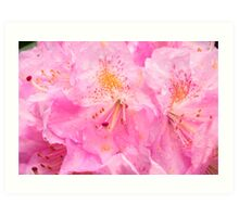 Morning Showers On Pink Rhododendron Art Print