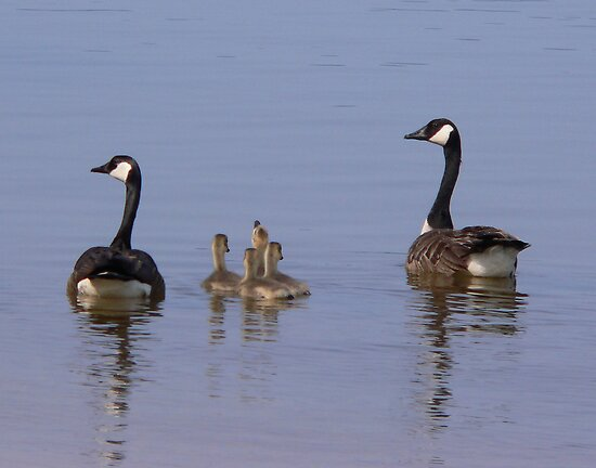 Canada Goose Family by WTBird