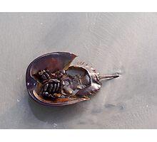 Horshoe Crab Photographic Print