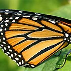 Monarch's Wing in Macro by Vickie Emms