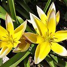 Tarda Tulips by Teresa Zieba