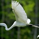 Egret Flying to Her Nest by Photography by TJ Baccari