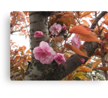 Cherry Tree, Pink Blossoms Canvas Print