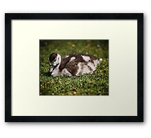 Young Baby Goose Framed Print