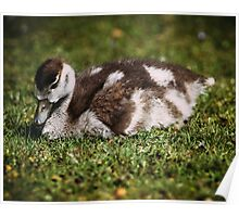 Young Baby Goose Poster