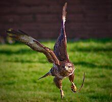 The Buzzard (Buteo buteo) by jdmphotography