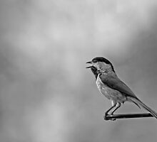 Singing Carolina Chickadee by Bonnie T.  Barry