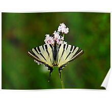 Scarce Swallowtail On Wild Garlic Flowers Poster