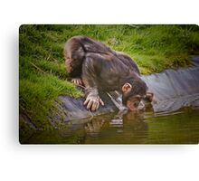 Thirsty chimp ! ........... Canvas Print