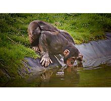 Thirsty chimp ! ........... Photographic Print