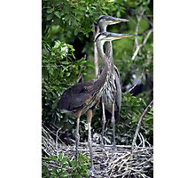 Heron twins Photographic Print