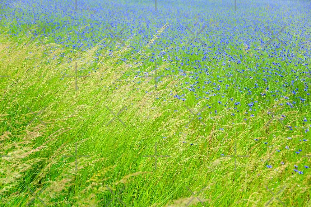Cornflowers by Rainer Kuehnl