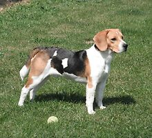 Young Beagle by welovethedogs