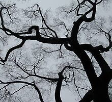 American Elm - The Mall - Central Park - NYC by bron stadheim