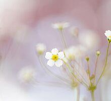 Spring Starburst by Jacky Parker