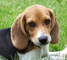 Awesome Beagle by welovethedogs