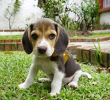 Funky Beagle