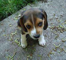 Adorbz Beagle by welovethedogs