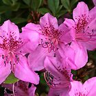 azaleas in spring by Paul Kavsak