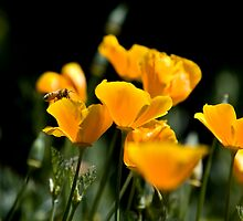 Bee Pollenating California Poppies by Buckwhite