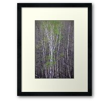 Young Birch Framed Print