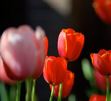 DC Tulips  by dcborn