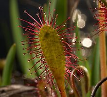 Sundews by stephen foote