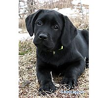 Early Spring Hunt - Black Labrador Puppy Photographic Print